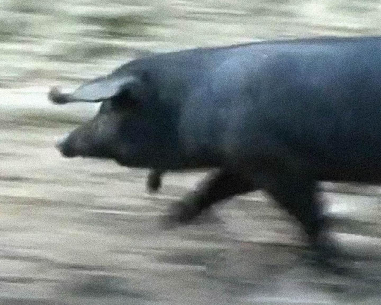 Foto di un maiale Antico Nero d'Aspromonte